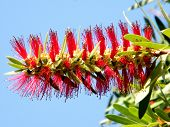 Or Yehuda Callistemon Captain Branch 2010