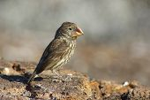 Ground Finch