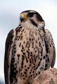 Prairie Falcon Falco Mexicanus 1