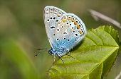common blue / Polyommatus icarus