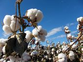 stock photo of boll  - Cotton plants in a field against a blue sky - JPG