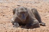 Baboon Grubbing For Food