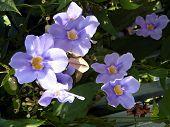 Neve Monosson Thunbergia Grandiflora Flower 2010