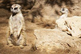 stock photo of meerkats  - Two meerkats sitting on the sand or Suricata suricatta - JPG