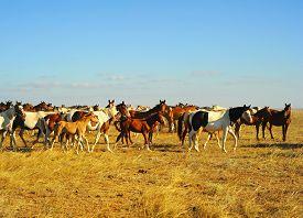 image of big horse  - Big herd of horses in Crimean prairie at sunset - JPG