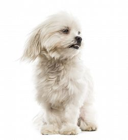 pic of maltese  - Maltese in the wind in front of a white background  - JPG