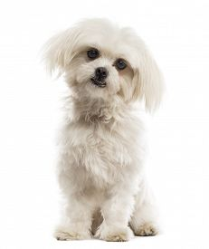 stock photo of maltese  - Maltese in front of a white background  - JPG