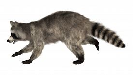 pic of raccoon  - 3D digital render of a raccoon running iisolated on white background - JPG