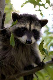 foto of raccoon  - A baby raccoon playing in a tree - JPG