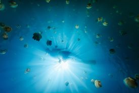 pic of jellyfish  - Underwater photo of tourist snorkeling with endemic golden jellyfish in lake at Palau - JPG