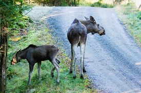 stock photo of calf cow  - Moose cow and calf at the side of a gravel road in woodland - JPG