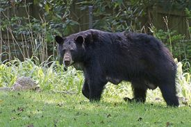 picture of lactating  - A large lactating female black bear warily crosses a neighborhood yard in summer