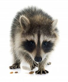 stock photo of raccoon  - young raccoon in front of white background - JPG