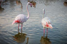 stock photo of pink flamingos  - Pink big bird Greater Flamingo  - JPG