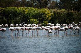 foto of pink flamingos  - Pink big bird Greater Flamingo  - JPG