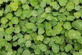 picture of nasturtium  - nasturtium with morning dew on the leaves - JPG