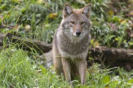 image of coyote  - A lone coyote in some grass in fall - JPG