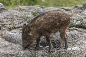 pic of boar  - A lone baby boar feeding on a rocky landscape - JPG