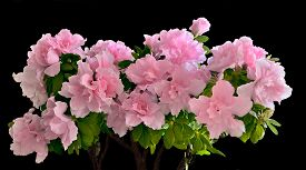 picture of azalea  - Delicious floral background  - JPG