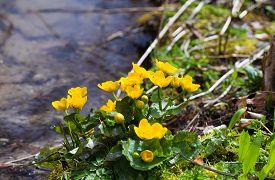 stock photo of buttercup  - Yellow buttercup flowers Ranunculus - JPG
