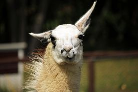 picture of lamas  - Head of Lama chewing a food in zoo - JPG