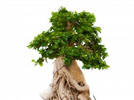 picture of bonsai tree  - Bonsai trees trees in the tropical zone - JPG