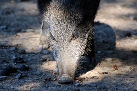 image of boar  - Close up of a boar in a wildpark - JPG