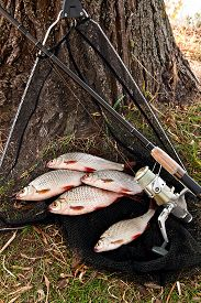 picture of fresh water fish  - Roach fish and bream freshwater fish just taken from the water - JPG
