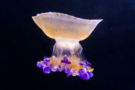 pic of jellyfish  - A Beautiful jellyfish floating in aquarium water - JPG