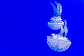 picture of jellyfish  - A Beautiful jellyfish floating in aquarium water  - JPG
