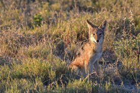 foto of jackal  - Black - JPG