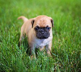 picture of chug  -  a cute chihuahua pug mix puppy  - JPG