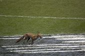 TWICKENHAM LONDON - MAR 13: Fox running on the pitch at England vs Scotland, England playing in whit