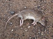 stock photo of dead mouse  - Color photo of a dead mouse on a gray ground - JPG