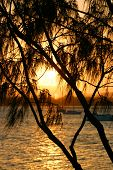 Casuarina Against The Sun