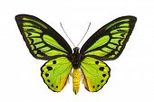 Large emerald birdwing butterfly (O priamus poseidon) originating from the jungles in the Arfak moun