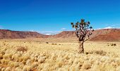 Landscape with quiver tree Aloe dichotoma, South Namibia