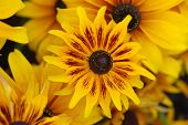 Fall Color With Rudbeckia Flowers, Known As Coneflowers poster