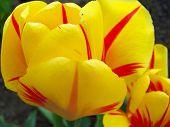 Spring flowers ââ?¬â?? tulips.