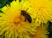 The bee collects nectar of a dandelion.