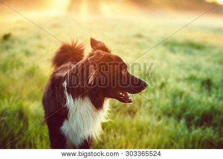 poster of A Purebred Border Collie Dog Without Leash Outdoors In Nature In Beautiful Sunrise. Dog Play And Run