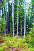 Pine Trees Besides An Alpine Meadow Taken At A Temperate Evergreen Forest On Mountainous Terrain In  poster