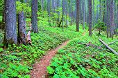 Pacific Crest Hiking Trail Surrounded By Pine Trees And Lush Green Plants On The Forest Floor Taken  poster
