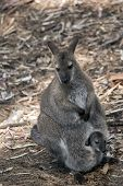 The Red Necked Wallaby Has A Joey In Her Pouch poster