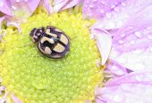 Ladybug On Daisy