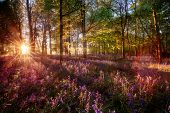 Dawn Sunrise Through Bluebell Woodland. Wild Purple Flowers Cover The Forest Landscape Floor With Co poster