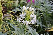 Cat Whiskers White Flower,orthosiphon Stamineus Herb Flower, Also Known As Orthosiphon Aristatus, Ja poster