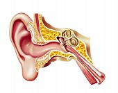 stock photo of eardrum  - Human ear cutaway diagram - JPG