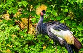 Beautiful Grey Crowned Crane In Closeup, Tropical Bird Specie From Africa, Endangered Animal Species poster