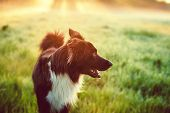 A Purebred Border Collie Dog Without Leash Outdoors In Nature In Beautiful Sunrise. Dog Play And Run poster